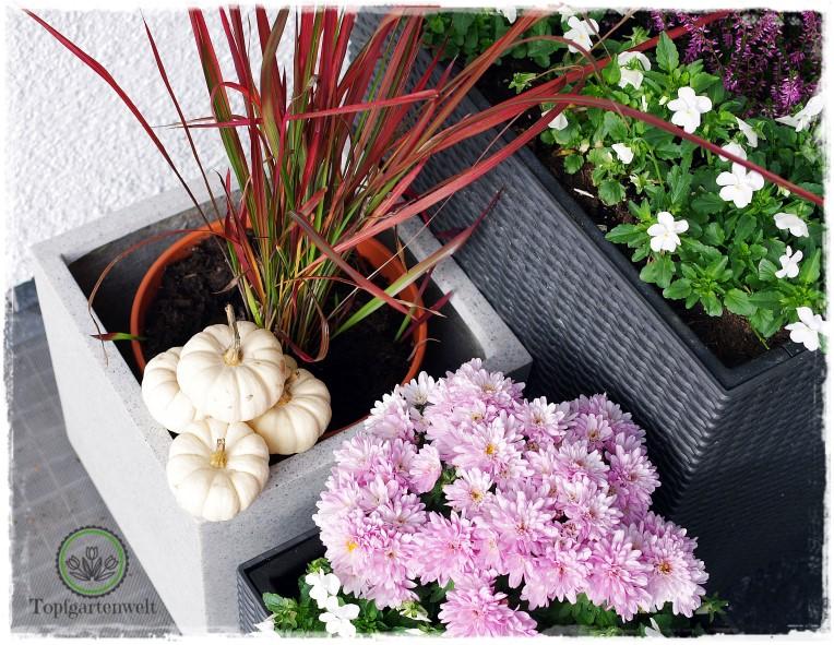 Gartenblog Topfgartenwelt Kooperationen: Pflanzkübel CUBO 30 von Dekora im Test - herbstliches Blumenarrangement