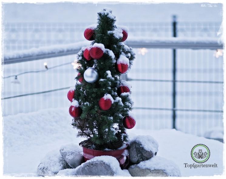 Gartenblog Topfgartenwelt festliche Weihnachtsdekoration in Rot und Weiß + Rezept Flammkuchen: Tannenbäumchen im Garten geschmückt mit Kugeln
