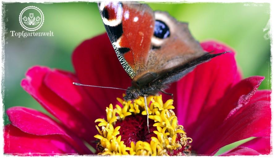 Gartenblog Topfgartenwelt Schmetterlingsgarten: mit Pflanzen Schmetterlinge anlocken Zinnie Schmetterlingsflieder Tagpfauenauge