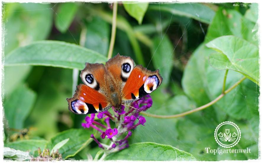 Gartenblog Topfgartenwelt Schmetterlingsgarten: Schmetterlingsflieder lockt Schmetterlinge im Garten an Tagpfauenauge