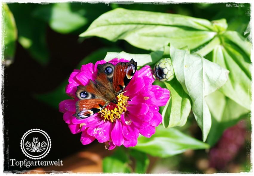 Gartenblog Topfgartenwelt Schmetterlingsgarten: Pflanzen für den Garten Zinnien Selbstaussaat Tagpfauenauge