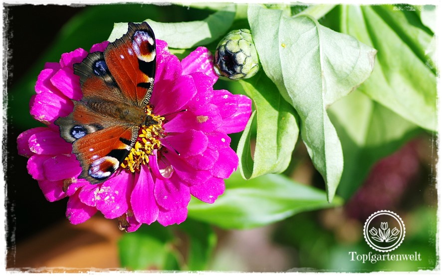 Gartenblog Topfgartenwelt Schmetterlingsgarten: Schmetterlingspflanzen für den Garten Zinnie Schmetterlingsflieder