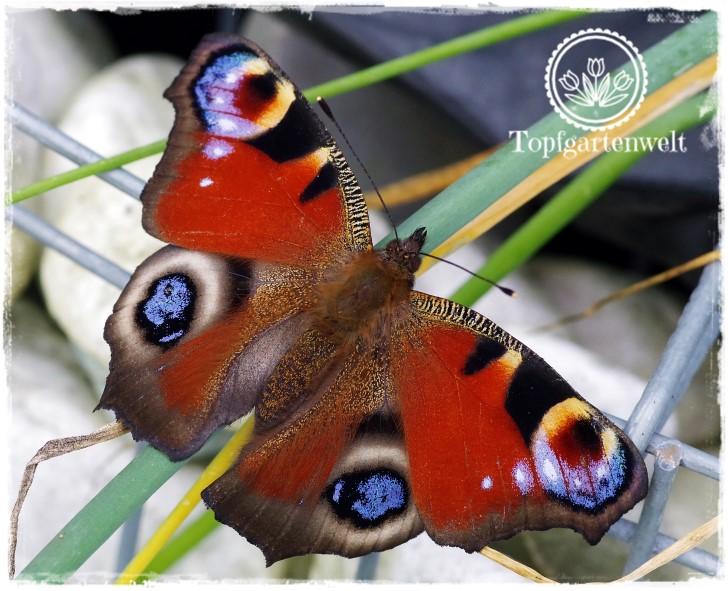 Gartenblog Topfgartenwelt Schmetterlingsgarten: Tagpfauenauge Schmetterling des Jahres 2009