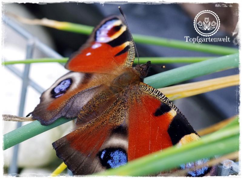 Gartenblog Topfgartenwelt Schmetterlingsgarten: Tagpfauenauge Edelfalter anlocken mit Zinnie Schmetterlingsflieder