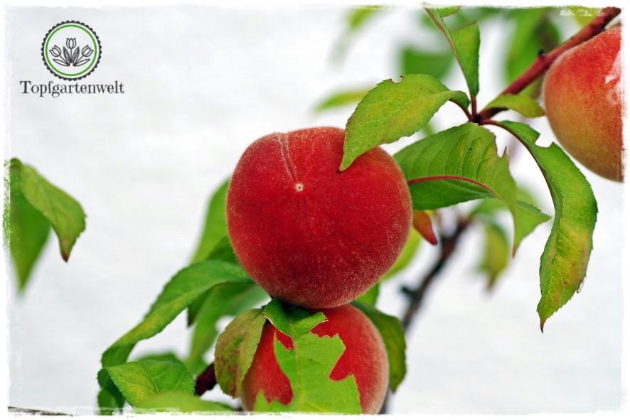Gartenblog Topfgartenwelt den Sommer konservieren: Marmelade Einkochen Nektarinenmarmelade mit Vanille und Rosmarin