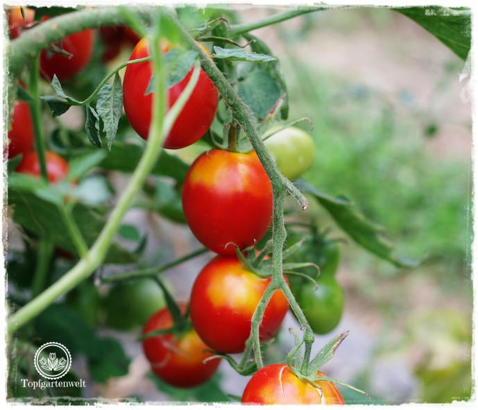 Gartenblog Topfgartenwelt Aussaat: Tomatensorten 2018 - Tomaten selber ziehen