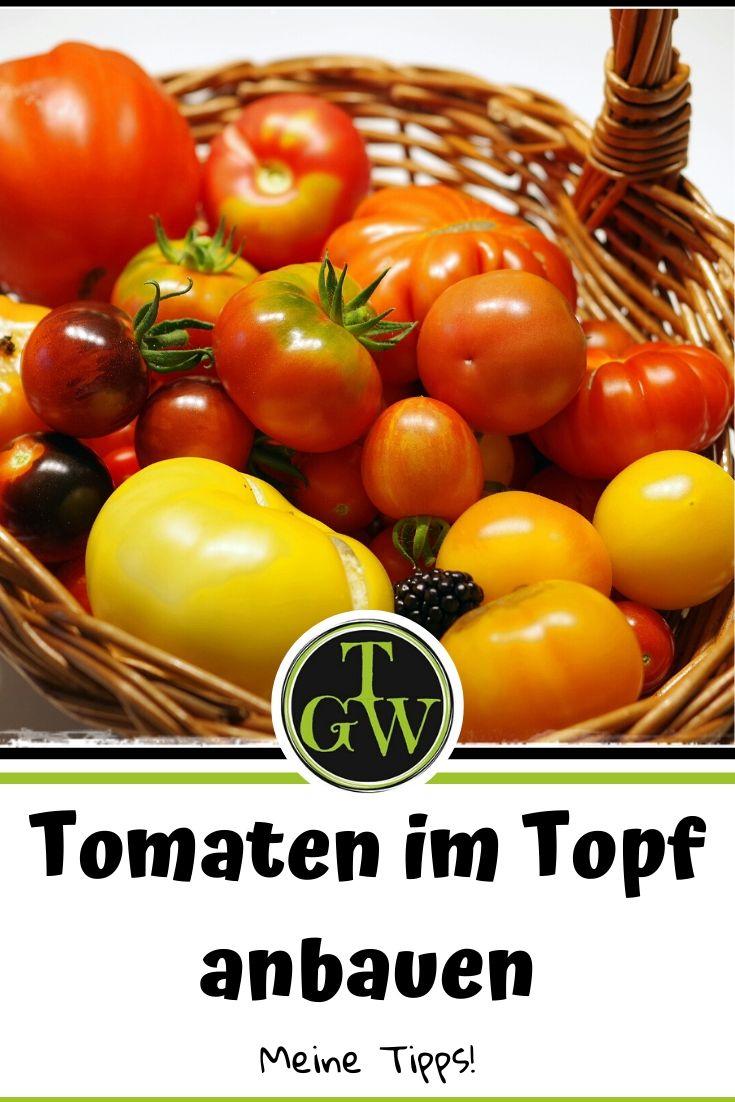 Tomatenbau in großen Töpfen und Trögen - Gartenblog Topfgartenwelt #tomatenanbau #topf #töpfe #kübel #balkontomaten #gewächshaus #garten #anzucht #pflege #tomaten