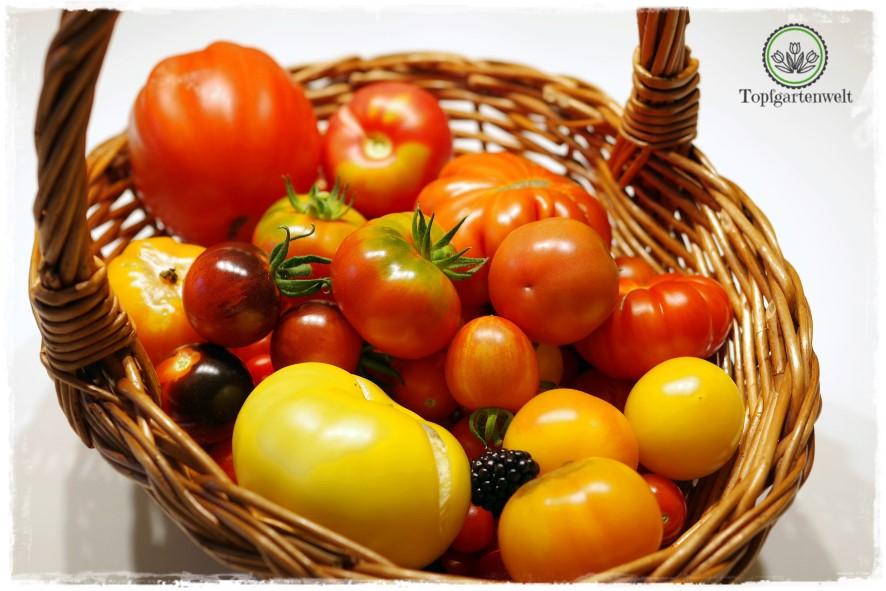 Gartenblog Topfgartenwelt Tomaten Tomatenanbau in großen Töpfen und Trögen: Tomaten im Topf