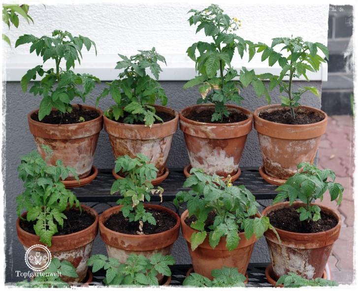 Gartenblog Topfgartenwelt Tomaten Tomatenanbau in großen Töpfen und Trögen: Tomaten pflanzen Anleitung