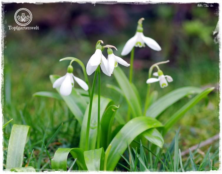 Gartenblog Topfgartenwelt Nachhaltigkeit und Bio im Garten: Schneeglöckchen