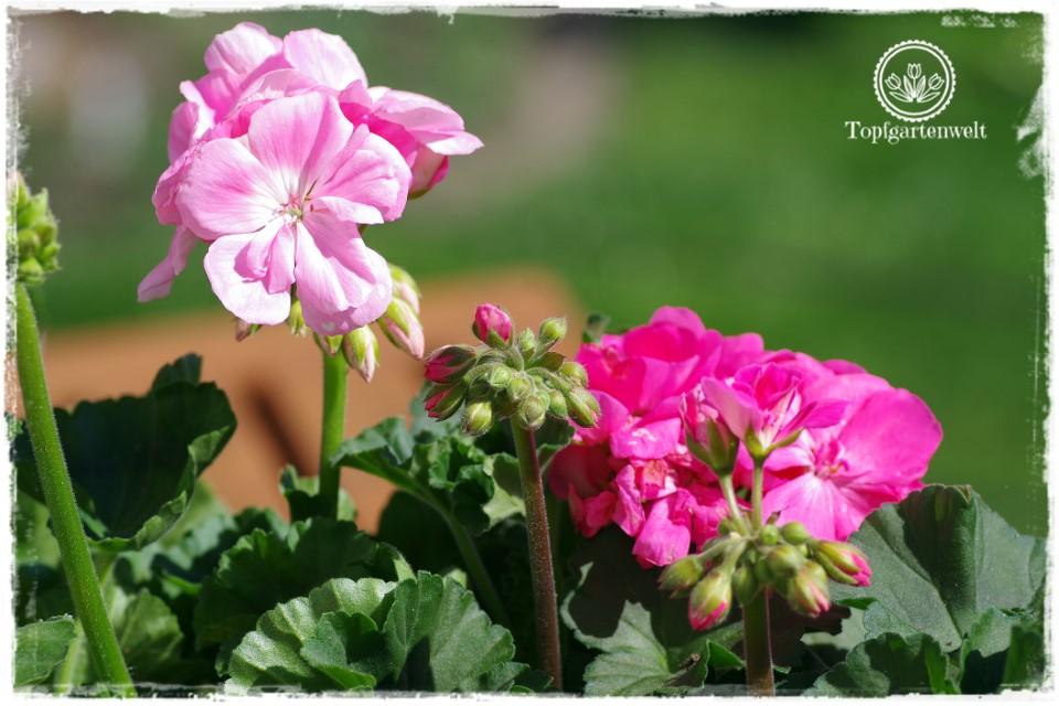 Gartenblog Topfgartenwelt Balkonblumen 2018: pflegeleichte Balkonblumen