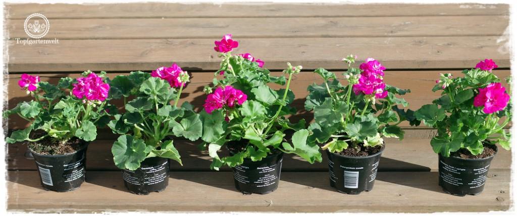 Balkonkästen bepflanzen Beispiele | Balkonblumen Pflanzvorschläge | Kooperation!