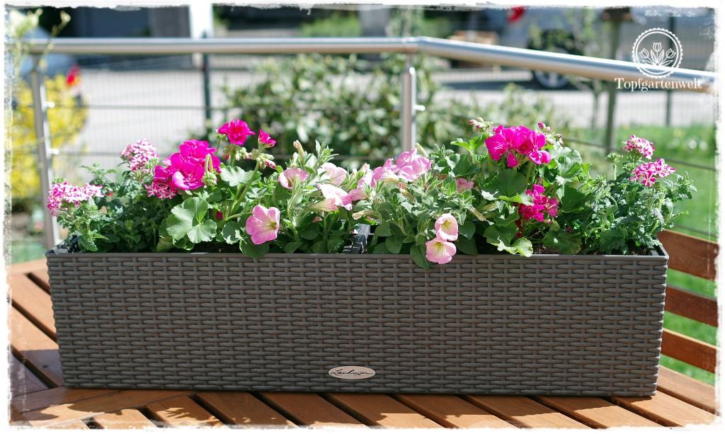 Gartenblog Topfgartenwelt Balkonblumen 2018: Pflanzvorschlag Geranien Pelargonien Surfinien Verbenen