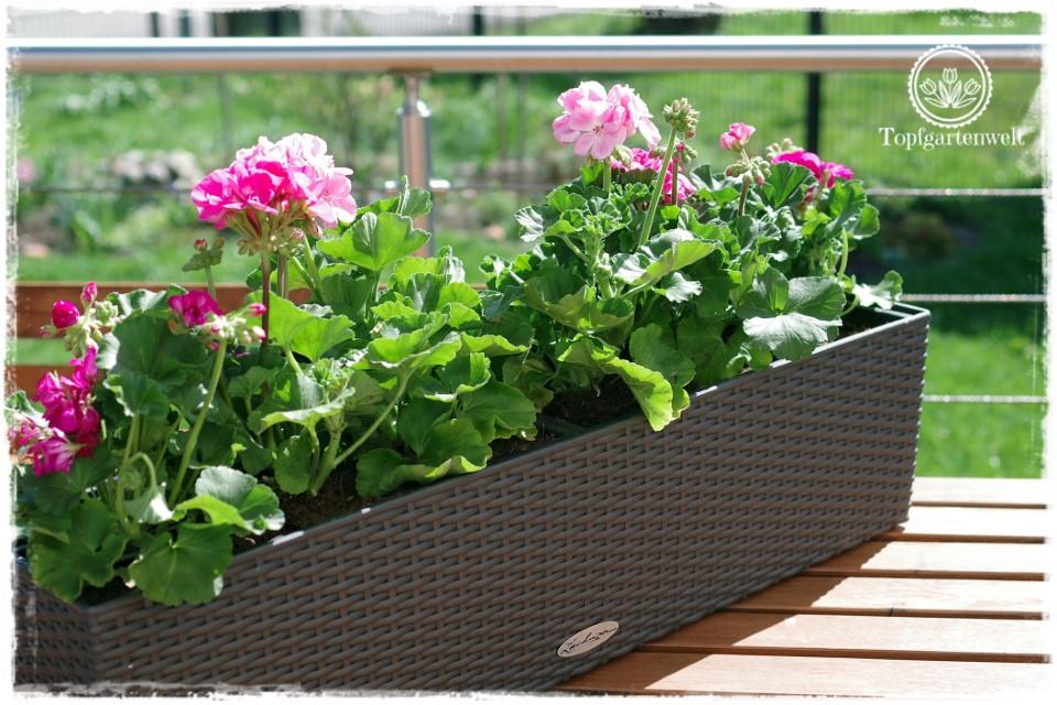Gartenblog Topfgartenwelt Balkonblumen 2018: Pflanzvorschlag Pelargonien Geranien stehend