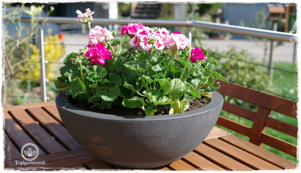 Gartenblog Topfgartenwelt Balkonblumen 2018: Pflanzvorschlag Sommerblumen für große Schüssel Schale
