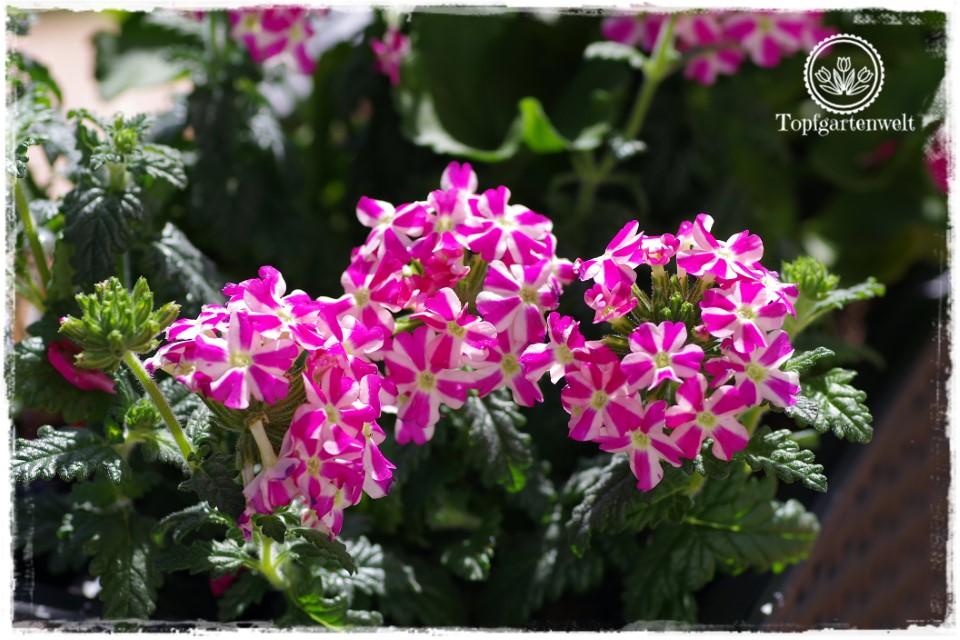 Gartenblog Topfgartenwelt Balkonblumen 2018: Balkonblumen viel Sonne