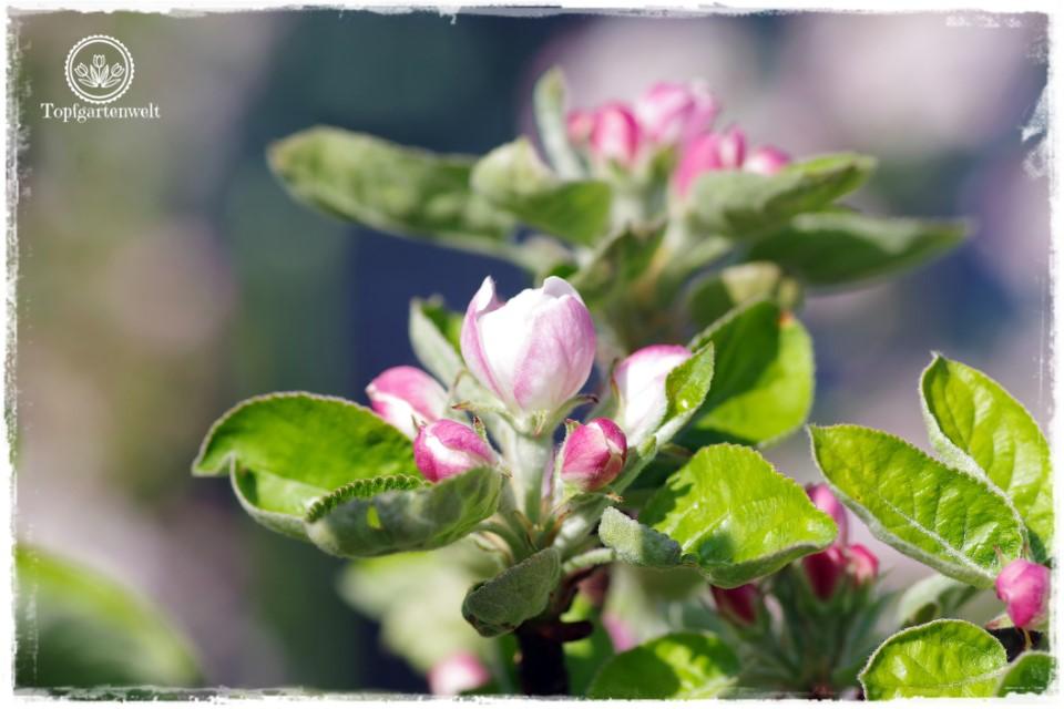 Gartenblog Topfgartenwelt Buchtipp Zwerg- und Säulenobst: Apfelblüte im April