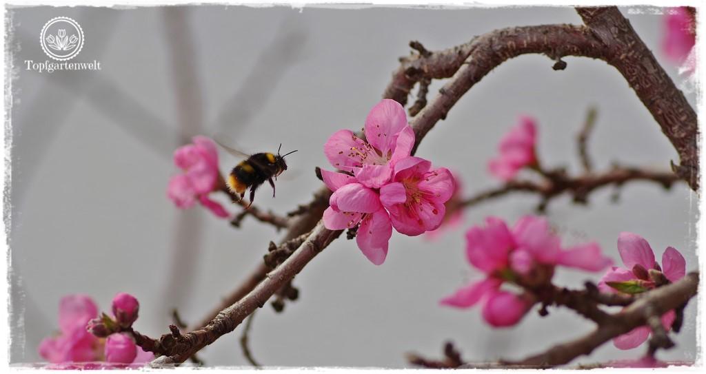 Gartenblog Topfgartenwelt Buchtipp Zwerg- und Säulenobst: platzsparendes Obst für den kleinen Garten
