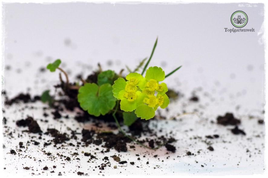 Gartenblog Topfgartenwelt Wird das was oder kann das weg? - Milzkraut