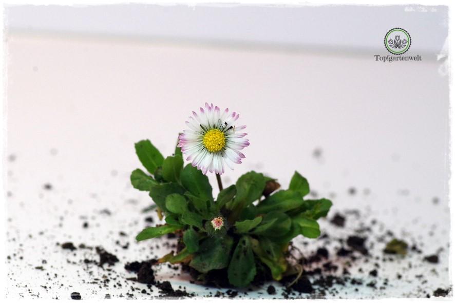 Gartenblog Topfgartenwelt Wird das was oder kann das weg? - Gänseblümchen - gehört in jede Wiese