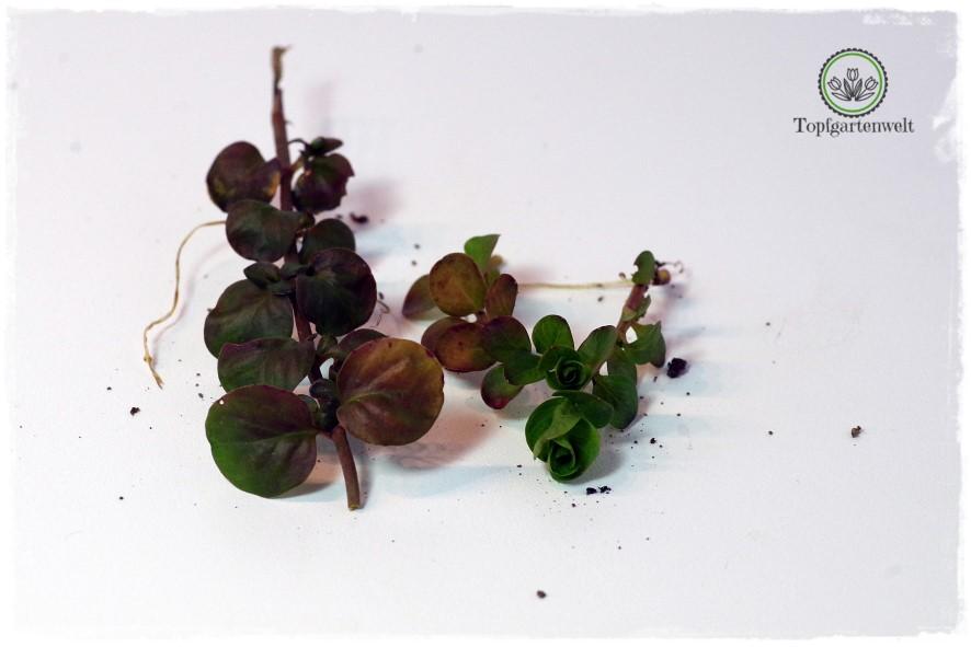 Gartenblog Topfgartenwelt Wird das was oder kann das weg? - Pfennigkraut - bodendeckendes Unrkaut