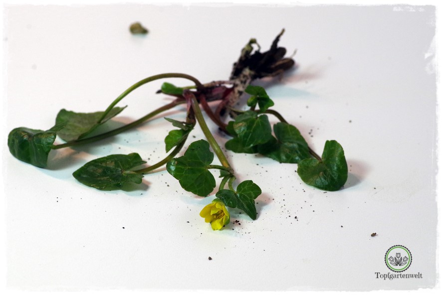 Gartenblog Topfgartenwelt Wird das was oder kann das weg? - Scharbockskraut - Pflanze mit Ausbreitungsdrang
