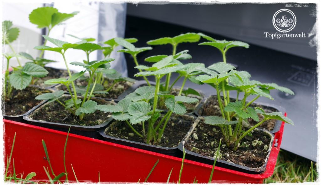 Food- und Gartenblog Topfgartenwelt Produkttest EMSA My City Garden mit Aqua Comfort-System - Pflanzenauswahl für Balkonkästen mit Bewässerungssystem
