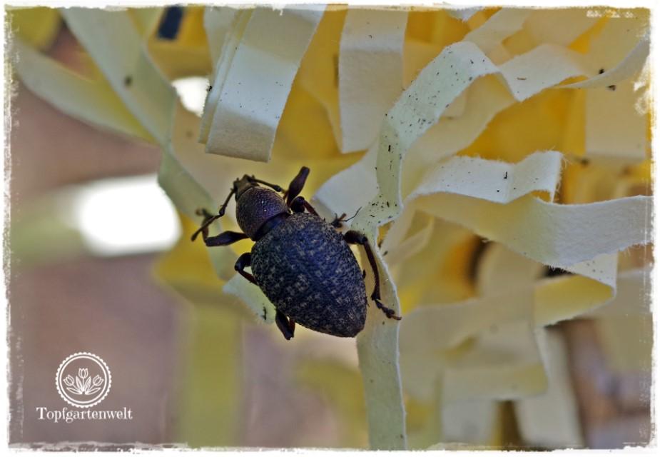 Gartenblog Foodblog Topfgartenwelt Dickmaulrüssler bekämpfen: Dickmaulrüssler in Falle - adulter Käfer im Garten