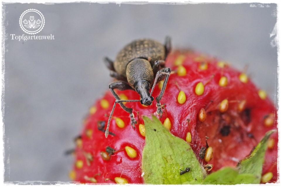 Gartenblog Foodblog Topfgartenwelt Dickmaulrüssler bekämpfen: Erdbeerschädling - Was tun gegen Dickmaulrüssler auf Erdbeeren - Dickmaulrüssler auf Erdbeere