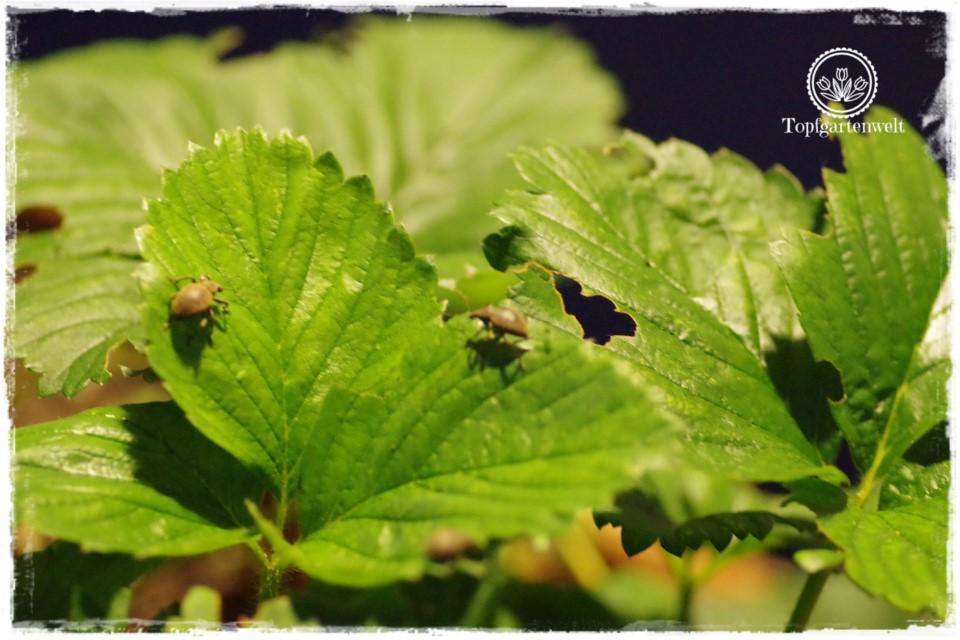 Gartenblog Foodblog Topfgartenwelt Dickmaulrüssler bekämpfen: nachaktiver Käfer beim Fressen an Erdbeeren