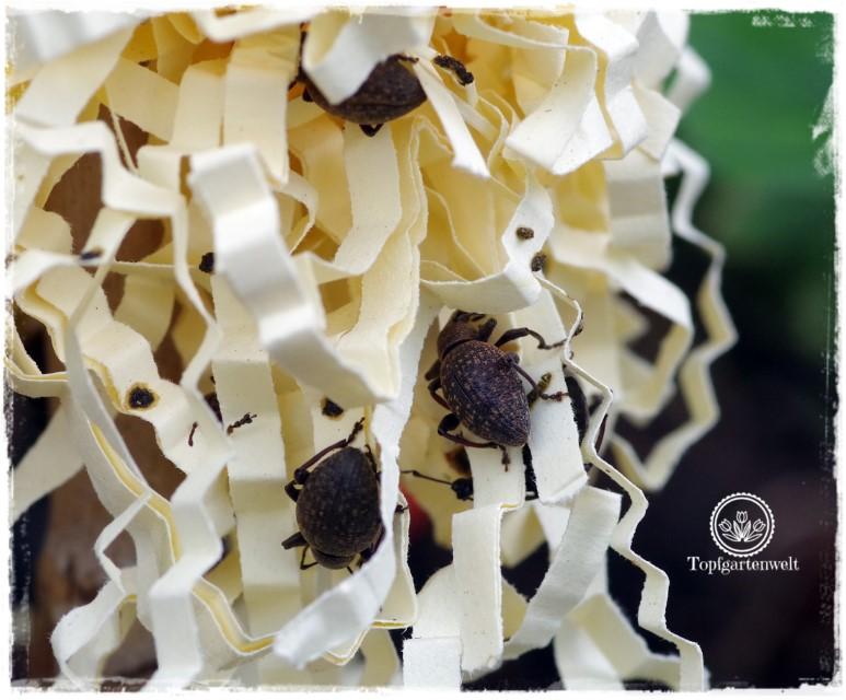 Gartenblog Foodblog Topfgartenwelt Dickmaulrüssler bekämpfen: Dickmaulrüssler bei Tag im Versteck