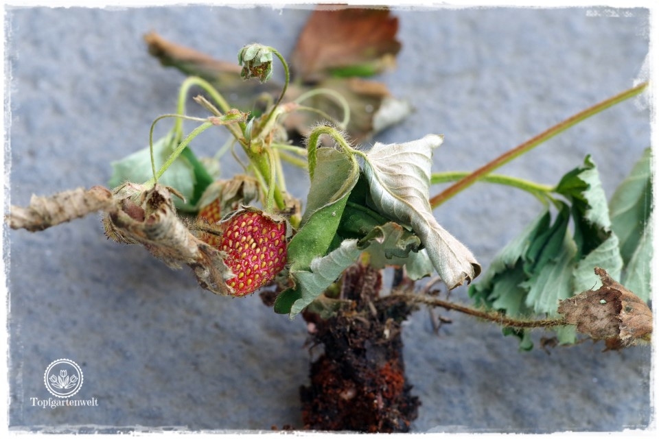 Gartenblog Foodblog Topfgartenwelt Dickmaulrüssler bekämpfen: Schadbild - Dickmaulrüssler Falle selber basteln - wegen gefurchten Dickmaulrüssler verdorrte Erdbeerpflanze