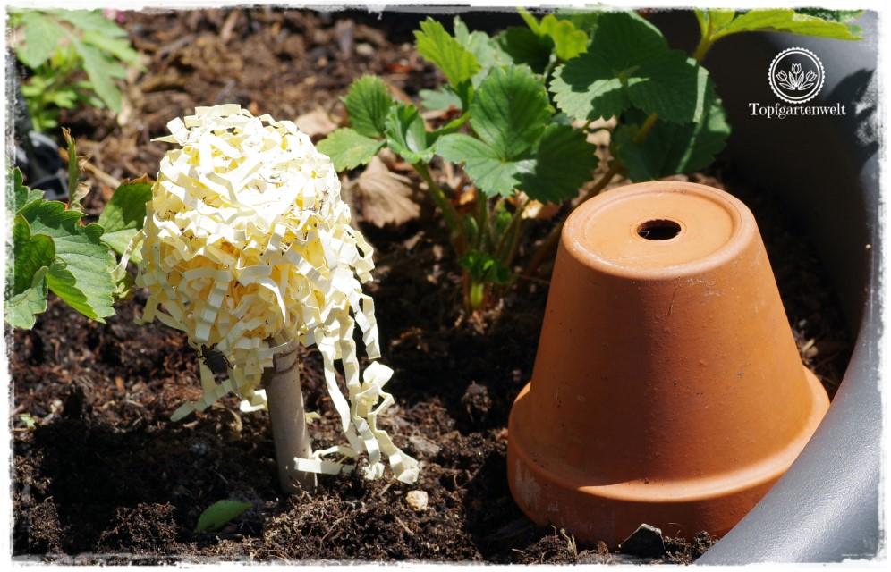 Gartenblog Foodblog Topfgartenwelt Dickmaulrüssler bekämpfen: Dickmaulrüssler Falle selber bauen mit Holzwolle füllen