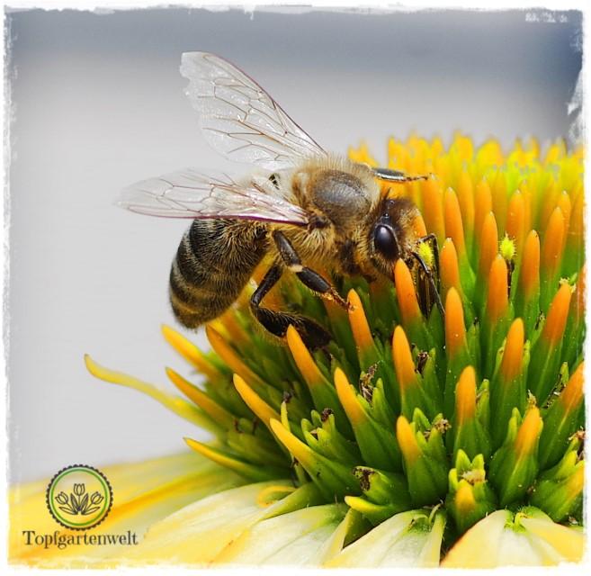 Biene beim Nektarsaugen auf Sonnenhut - Gartenblog Topfgartenwelt