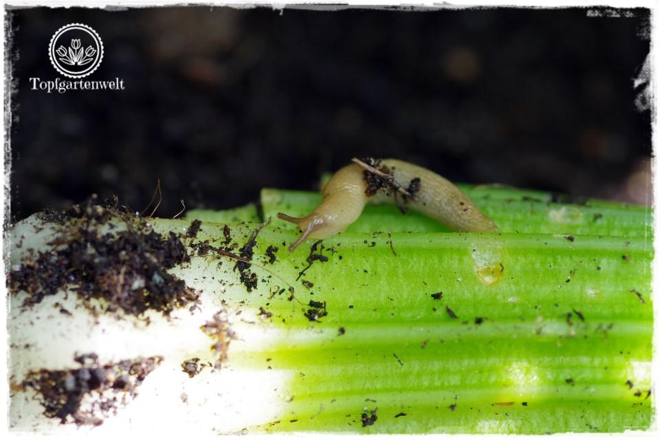Mini-Schnecken fressen Gemüse in Garten und Hochbeet - Gartenblog Topfgartenwelt