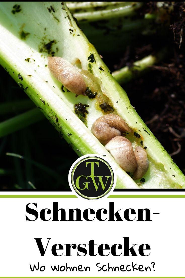 Schneckenverstecke im Gemüsegarten - Gartenblog Topfgartenwelt #minischnecken #schneckenverstecke #stangensellerie #schnecken #schneckenbekämpfen #schneckenplage #gemüsegarten