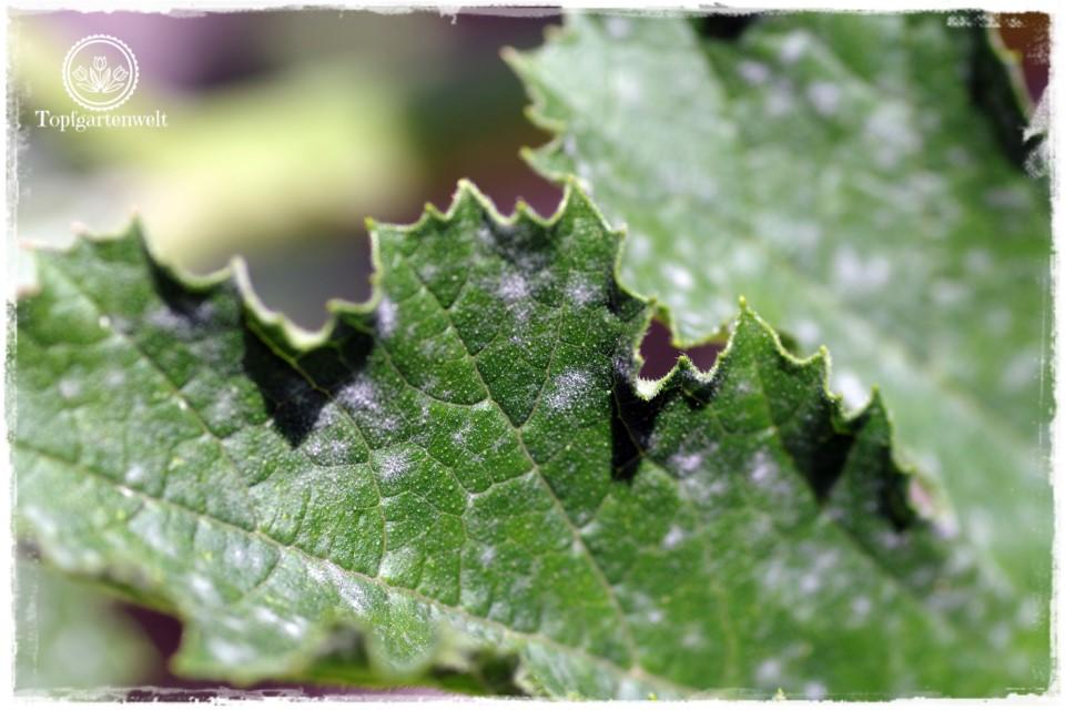 Mehltau an Zucchini - Bist du noch zu retten? 100 Gartenproblemen auf die Schliche kommen - Gartenblog Topfgartenwelt