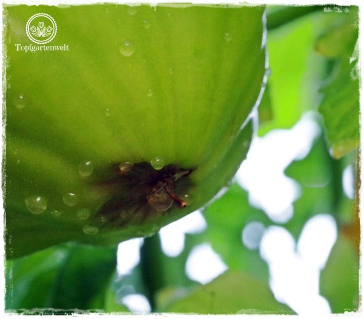 Blütenendfäule wegen Hitze an Tomatenstauden - Gartenblog Topfgartenwelt