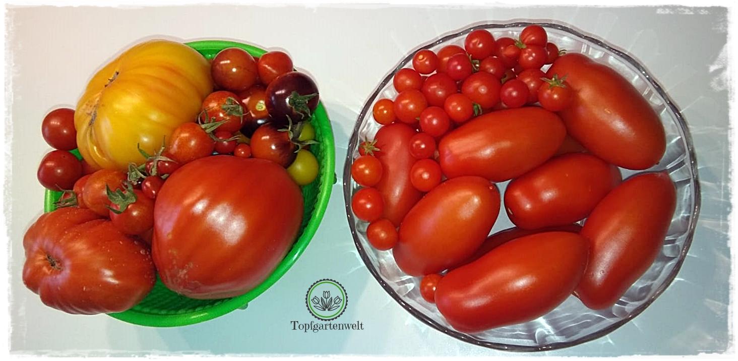 Tomatenernte trotz Blütenendfäule - Gartenblog Topfgartenwelt