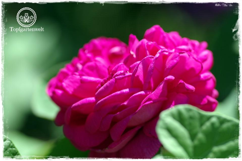 Rosen sammeln – alte Sorten finden und selbst vermehren | Gartenbuch!