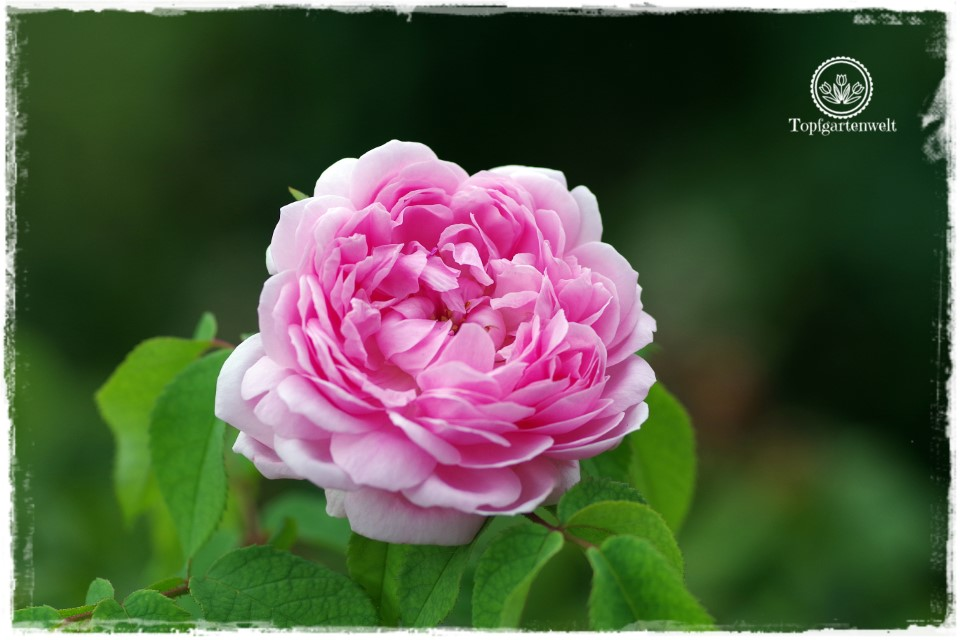 Alte Rosensorten für Haus und Garten - Rose Jacques Cartier - Gartenblog Topfgartenwelt
