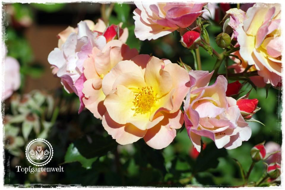 Sammelleidenschaft Rosen - Rose Jazz - Gartenblog Topfgartenwelt