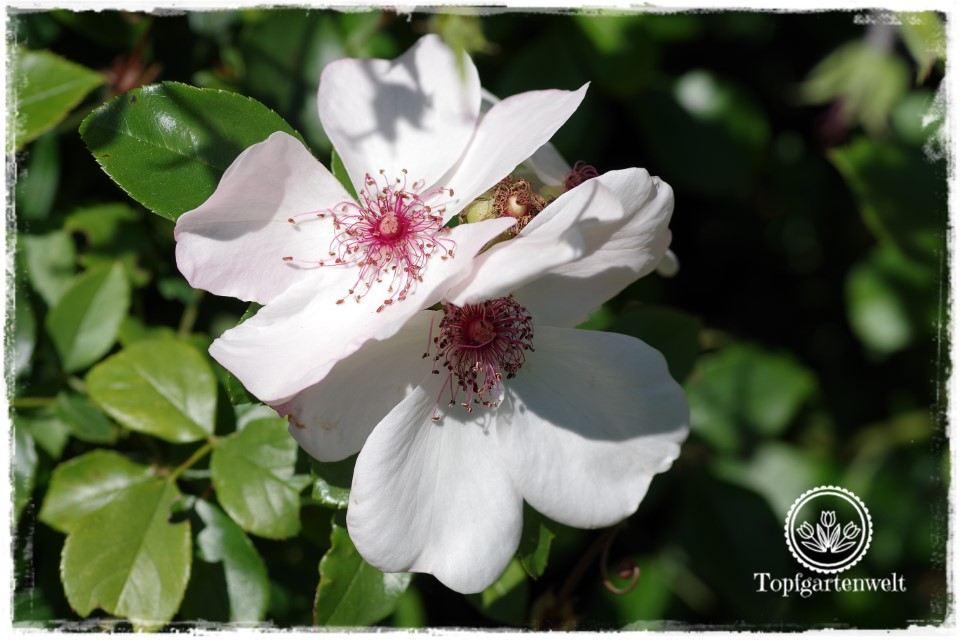historisches über Rosen - Rose Sweet Pretty - Gartenblog Topfgartenwelt