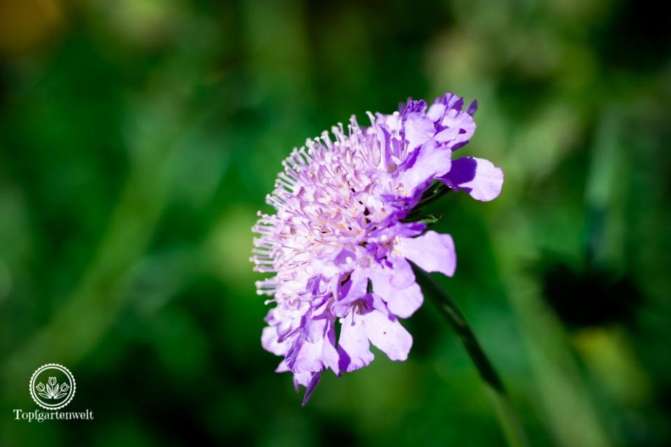 Skabiose Witwenblume unverzichtbar für den Herbstgarten - Gartenblog Topfgartenwelt