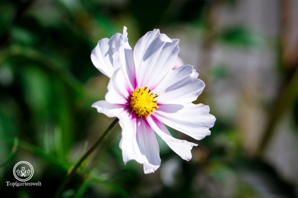Cosmea lange Blütezeit im Herbst - Herbstgarten Gartenblog Topfgartenwelt