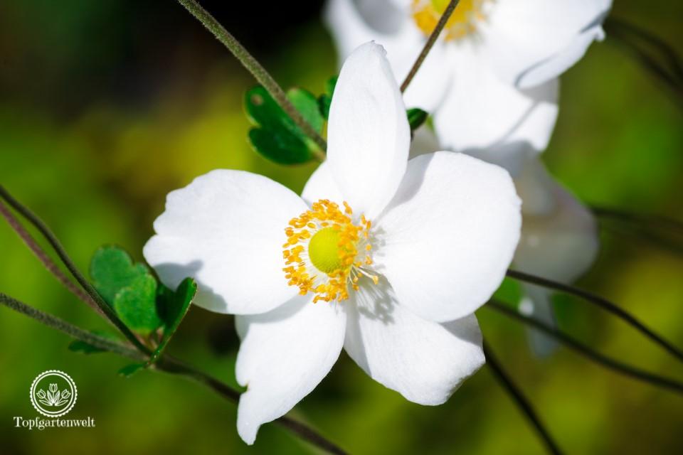 Herbstanemonen - Blütezeit von August bis spät in den Herbst - Gartenblog Topfgartenwelt