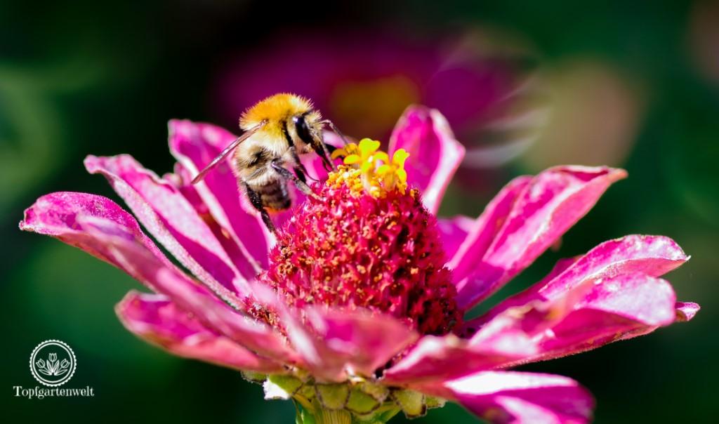 Biene beim Nektarsammeln auf Zinnie - Gartenblog Topfgartenwelt