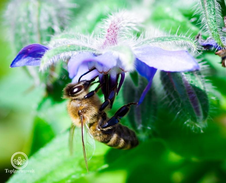 Herbstgarten - Biene auf Borretsch - Gartenblog Topfgartenwelt