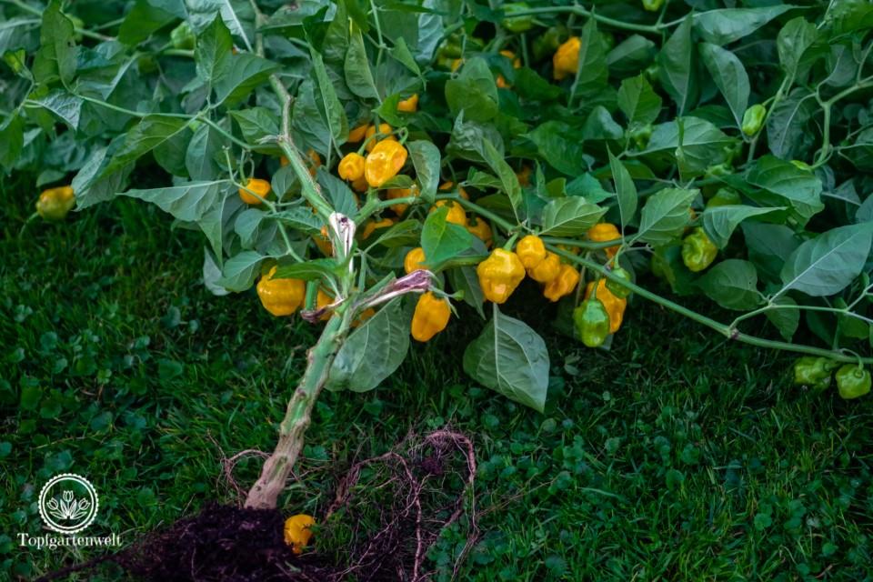 Chilipflanze mit reifen und unreifen Schoten - Foodblog Topfgartenwelt