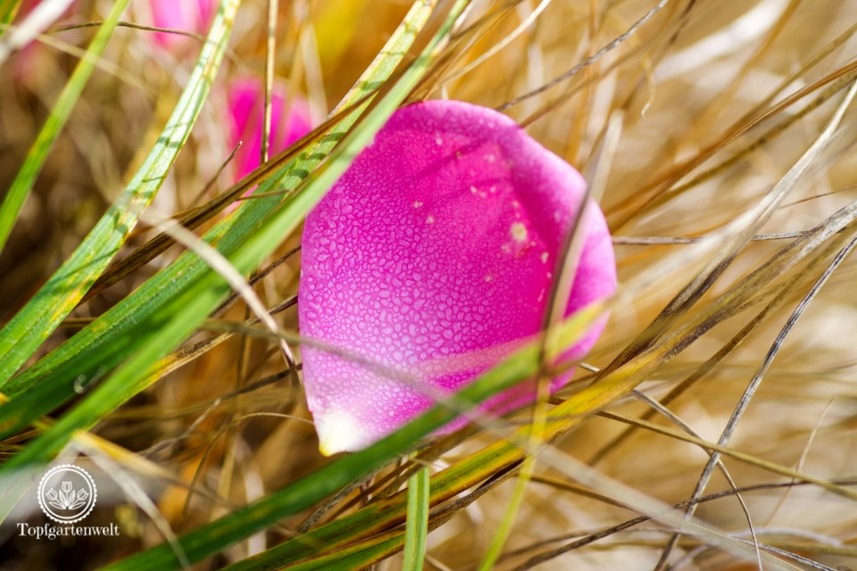 Rosenblütenblatt mit Tau, Das große Ulmer Rosenbuch - Beetrosen auswählen - Gartenblog Topfgartenwelt